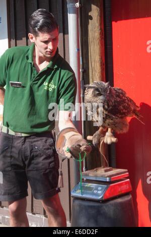 London, UK. 21. August 2014. Nathan Coles wiegt eine eurasische Uhu namens Max wie ZSL London hält seine jährliche - Stockfoto
