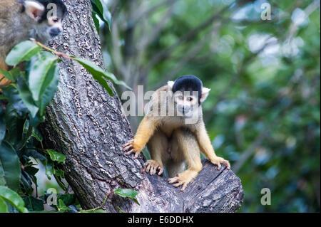 London, UK. 21. August 2014. ein Eichhörnchen-Affe während der ZSL London Zoo jährliche Tier wiegen-in London. Tierpfleger - Stockfoto