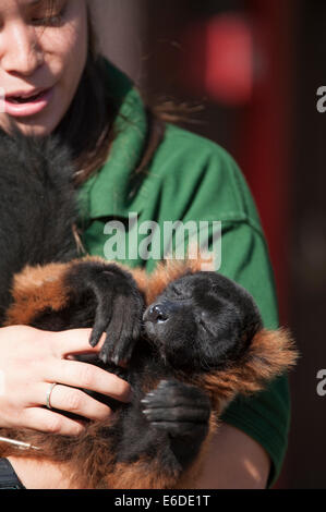 London Zoo, London, UK. 21. August 2014. Eine rote Ruffed Lemur wird gewogen und gemessen am ZSL London Zoo jährliche - Stockfoto