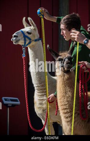 London, UK. 21. August 2014. Jährliche Tiere wiegen bei der ZSL London Zoo Credit: Guy Corbishley/Alamy Live-Nachrichten - Stockfoto
