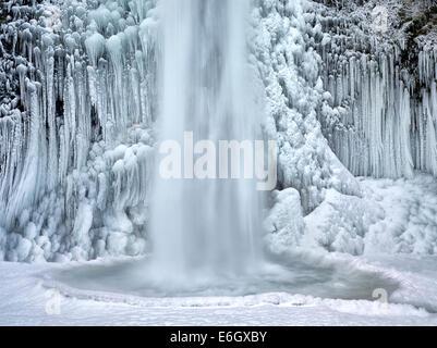 Nahaufnahme von Schachtelhalm fällt mit Eis und Schnee. Columbia River Gorge National Scenic Bereich, Oregon