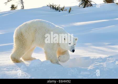 Eisbär (Ursus Maritimus) Mutter steht neben dem frisch eröffnete Höhle, Wapusk-Nationalpark, Kanada. - Stockfoto