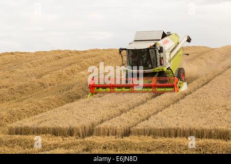 Beim Ernten von Weizen aus einem Weizen-Getreide Mähdrescher. Schottland, Großbritannien - Stockfoto