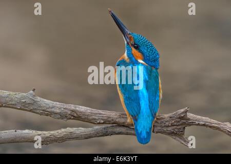 Eisvogel (Alcedo Atthis), männliche mit Ton an der Spitze seines Schnabels, Schwäbische Alb-Biosphären-Reservat, - Stockfoto