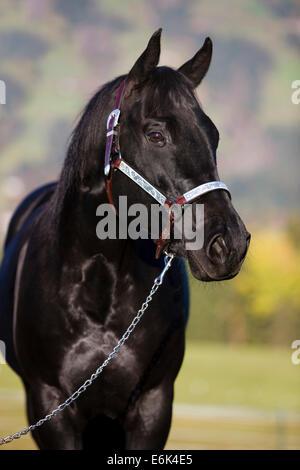 Quarter Horse tragen eine Show Halfter, schwarz, Nord-Tirol, Österreich - Stockfoto