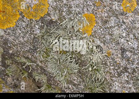 Meer Elfenbein Flechten auf Felsen und Steinmauern auf arbeiteten, Grüngraue Astflechte, Strauchflechte, Küstenfelsen, - Stockfoto