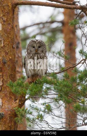 Habichtskauz (Strix Uralensis) thront in Fichte, Scandinavia - Stockfoto