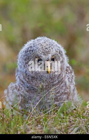 Habichtskauz (Strix Uralensis) Owlet in der Taiga, Scandinavia - Stockfoto