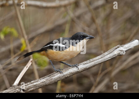 Südlichen Boubou (Lanarius Ferrugineus SSP. Tongensis), Malaconotidae - Stockfoto