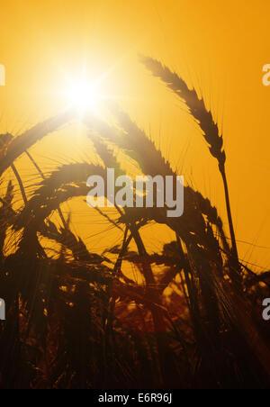 Die Sonne geht über ein Weizenfeld. - Stockfoto