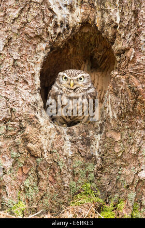 Steinkauz (Athene Noctua) im Nest Loch - Stockfoto