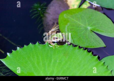 (Hylarana Erythraea) Gemeinsame Green frog auch als grüne paddy Frosch bekannt, red-eared Frosch oder Blatt Frosch - Stockfoto