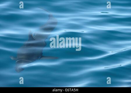 Lachs-Hai, Lamna Ditropis, Kalifornien, USA - Stockfoto