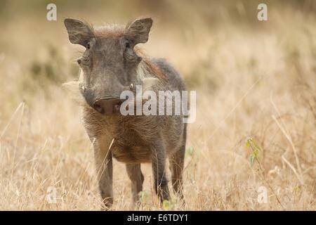 Ein gemeinsamen Warzenschwein, fotografiert im Kruger National Park, Südafrika. - Stockfoto