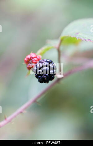 Rubus Fruticosus. Brombeeren Reifen in der Hecke im Herbst. - Stockfoto