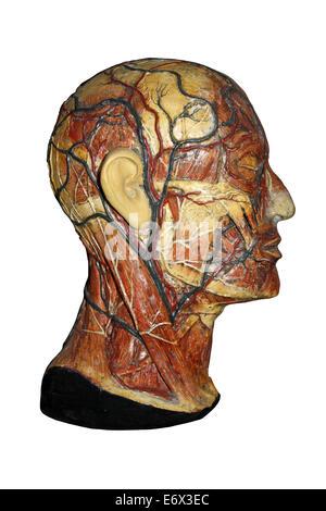 Wachs anatomisches Modell des menschlichen Kopfes mit Arterien und ...