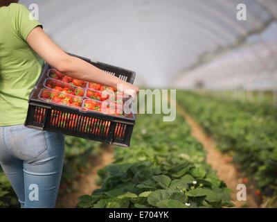 Arbeiter mit Tablett Bastkörbe gefüllt mit Erdbeeren im Folientunnel Obsthof - Stockfoto