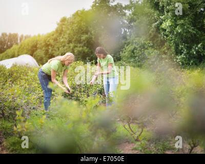 Arbeiter am Obsthof Blaubeeren pflücken - Stockfoto