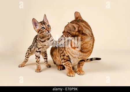 Bengals, lebendige Kätzchen mit müde Mutter - Stockfoto