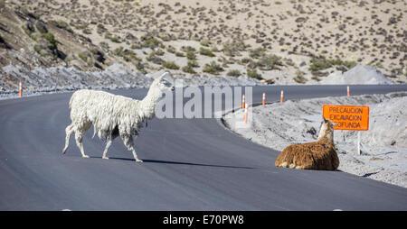 Lamas (lama glama) auf der Straße, Putre, Arica y parinacota Region, Chile - Stockfoto