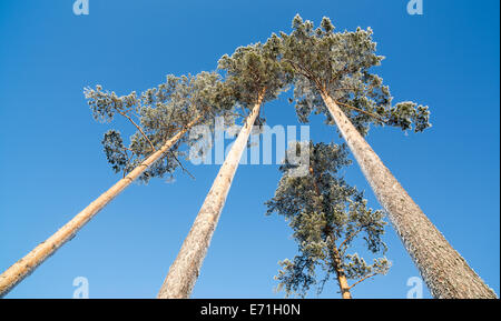 Frostigen Kiefern (Pinus Sylvestris) im Winter, Finnland - Stockfoto