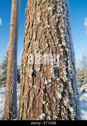 Nahaufnahme von einem frostigen Pine Tree Trunk und Rinde (Picea abies), Finnland - Stockfoto