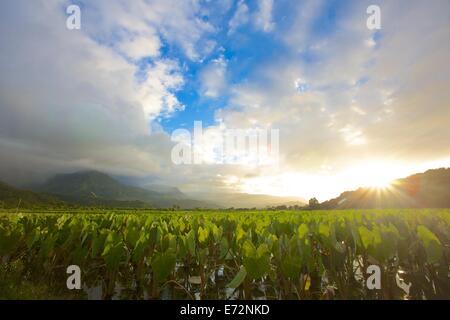 Sonnenaufgang über der Taro-Felder in der Hanalei Tal von Kauai - Stockfoto