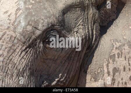 Afrikanischer Elefantenkopf und Haut detail (Loxodonta Africana), Addo Elephant National Park, Südafrika, Afrika - Stockfoto