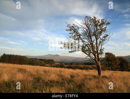 Einsamer Skelett Baum auf Heide von der gemeinsamen Daudraeth Illtud mit Bergen von Brecon-Beacons-Nationalpark - Stockfoto