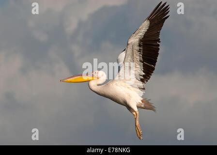 Pelikan fliegen