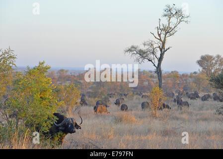 Herde von Büffeln im Krüger Nationalpark, Südafrika - Stockfoto