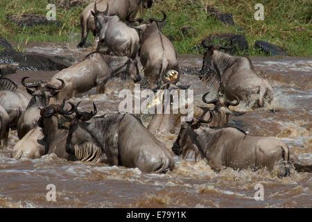 Ein massive 5 Meter Nilkrokodil angreift und ertrinkt ein Streifengnu während der Völkerwanderung in der Masai Mara - Stockfoto