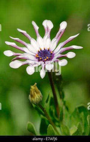 Kap-Marguerite (Dimorphotheca Ecklonis, Osteospermum Ecklonis), Blüte, ursprünglich aus Südafrika - Stockfoto