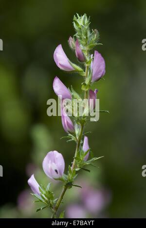 stacheligen Restharrow, Ononis spinosa - Stockfoto