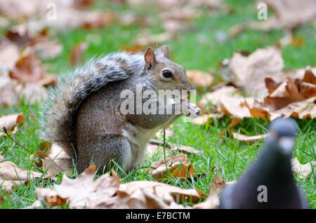 Grau-Eichhörnchen (Sciurus Carolinensis) in St James Park, London. September - Stockfoto