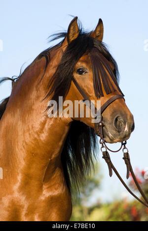 Andalusier, PRE oder rein Spanisch Pferd Pferde, Pura Raza Española, Bucht Hengst mit ein Vaquero Zaum, Andalusien, - Stockfoto
