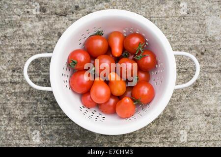 Lycopersicon Esculentum. Sieb von frisch gepflückten Tomaten. - Stockfoto