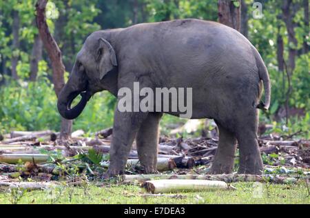 Schließen Sie herauf Bild eines asiatischen Elefanten - Stockfoto