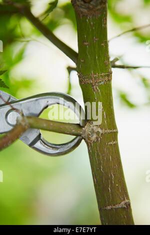 Bonsai-Baum (Ahorn) entfernen Zweig - Stockfoto