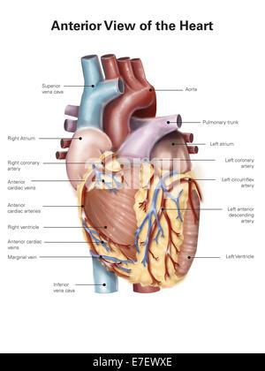 Anatomie des Herzens - Ansicht von ventral Stockfoto, Bild: 94536531 ...