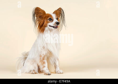 Papillon Hund, 7 Jahre, Farbe weiß-Zobel - Stockfoto