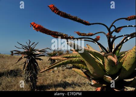 Gluckstad, KwaZulu-Natal, Südafrika, Pflanzen, Blumen und Blätter, Aloe, Aloe marlothii, indigene Pflanze, Safari, - Stockfoto