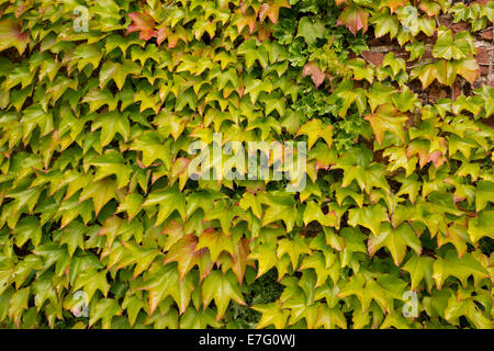 traube efeu an der hauswand parthenocissus tricuspidata stockfoto bild 22808348 alamy. Black Bedroom Furniture Sets. Home Design Ideas
