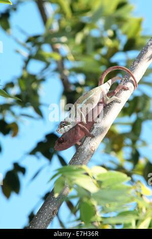 Paarung Panther Chamäleons (Furcifer Pardalis), Maroantsetra, Madagaskar - Stockfoto