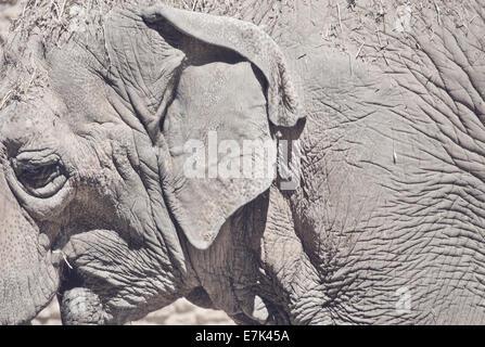 Asiatischer Elefant Closeup Bild mit harten Constrats Sonnenlicht - Stockfoto