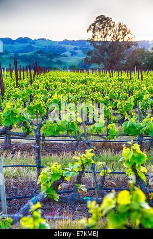 Sonnenuntergang über Weinberge in Kalifornien Wein-Land. Sonoma County, Kalifornien - Stockfoto
