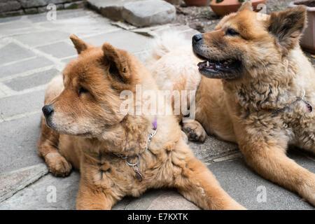 Chow Chow zwei Hunde im Garten - Stockfoto