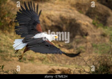 Eine afrikanische Fischadler zieht. Schuss in der Nähe der Hütte-Kanal in Uganda, Afrika. - Stockfoto