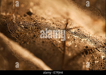 interessante Muster Blatt Skelett auf dem Waldboden mit Ahorn-Ahorn-Baum-Blätter und Samen auf Waldboden - Stockfoto