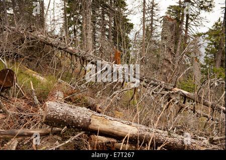 Verrottete Bäume stürzte in Babia Gora Nationalpark - Stockfoto